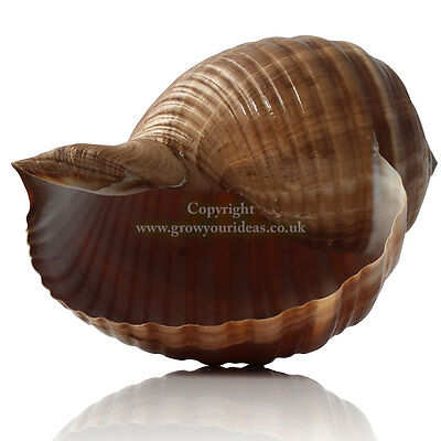 Tonna Cepa Large 12.5-15cm Sea shell for aquarium decoration or garden crafts