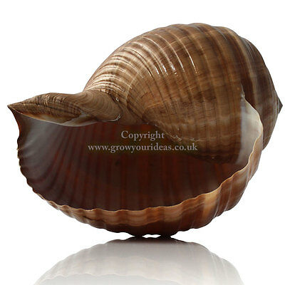 Tonna Large 12.5-15cm Sea shell for aquarium decoration or garden crafts