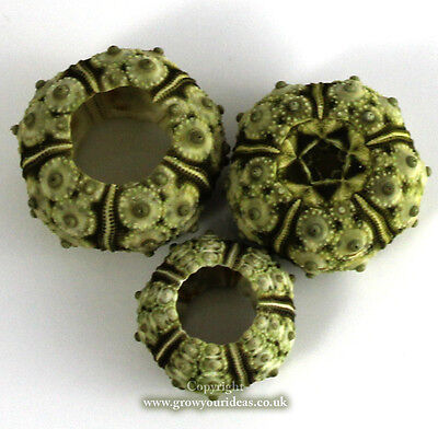 Sea urchin natural stone 2-3 cm wide. Perfect for crafts and other creative uses