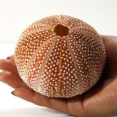 1x GIANT Sea urchin Celtic standard  8-10 cm. Perfect for crafts and air plants