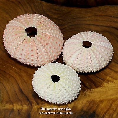 1 x Sea urchin Pink 3.5 to 5 cm. Perfect for crafts and air plants