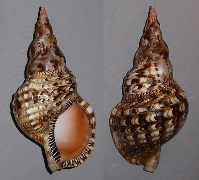 Coquillage de collection : Charonia variegata (Extra XL - 265 mm)