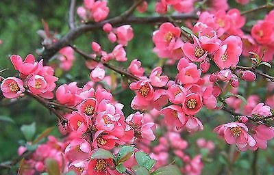 """Chaenomeles x superba Pink Lady - Japonica / Ornamental Quince Plant in 3.5"""" Pot"""