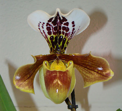 Paphiopedilum 'American Hybrid' Flowering Orchid House Plant