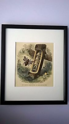Antique Print Coloured Engraving Of The Carpenter Bee C1875 Mounted Framed