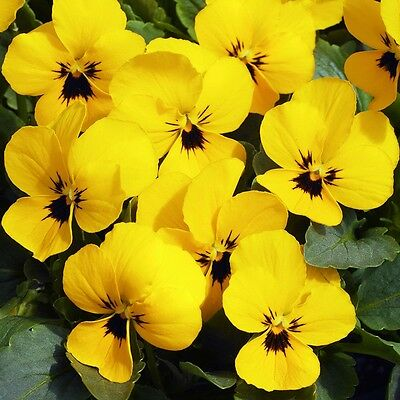 40 Winter Flowering Viola F1 Select  Yellow Blotch  Bedding Patio Plug plants