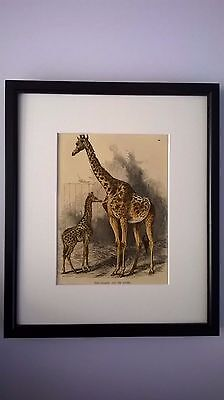 ANTIQUE PRINT COLOURED ENGRAVING THE GIRAFFE AND IT'S YOUNG c1875 MOUNTED FRAMED