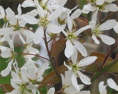3 Amelanchier canadensis bareroot hedging plant 40-60cm tall