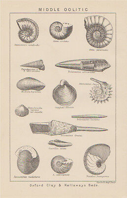 c1880 engraving British Fossil's 'Middle Oolitic'