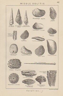 c1880 engraving British Fossil's 'Middle Oolitic Corallian'