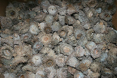 100+ Sawtooth Oak Acorn Caps Crafts Holiday Decor Ornaments 2015