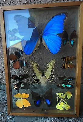 Wood Framed Glass Butterfly Collection Blue Morpho 10 Butterflies In All!!