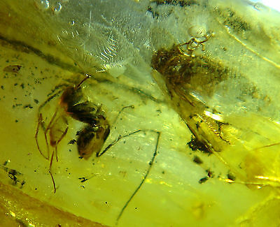 FOSSIL raw baltic amber rare genuine 2 insects insect inclusion (i418
