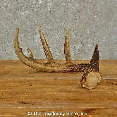 #16442 P | Whitetail Deer Taxidermy Antler Shed For Sale