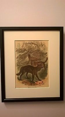 ANTIQUE PRINT COLOURED ENGRAVING OF WOLF / WOLVES OF THE FOREST c1875 FRAMED