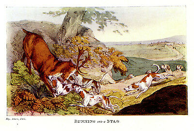 English Foxhound Dogs Attack Red Deer Stag, Hunting Alken Print 1903