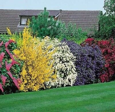 10X MIXED ESTABLISHED GARDEN SHRUBS - HIGH QUALITY POTTED PLANTS - Direct Plants