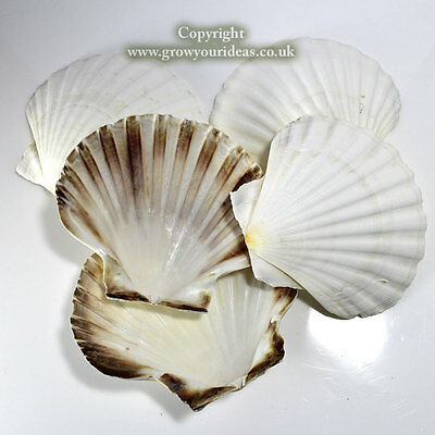 6 x Large Atlantic Scallop seashells.10-11cm.for crafts & culinary use