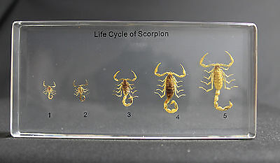 Scorpion Life Cycle In Lucite Insect Desktop Resin Paperweight Boxed N18