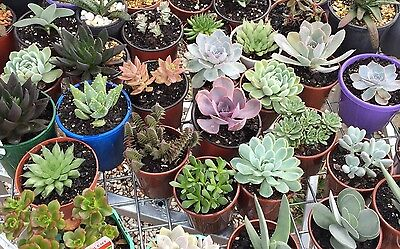 Succulent And Cacti Assorted plants , $5 Each . Pick Up Near Liverpool NSW
