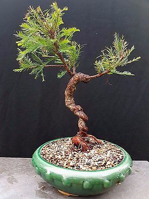 Bonsai, Deciduous Swamp Cypress with twisted trunk