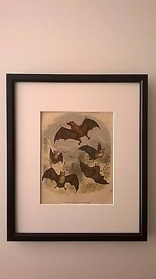 ANTIQUE PRINT COLOURED ENGRAVING OF MADAGASCAR AND OTHER BATS c1875 FRAMED