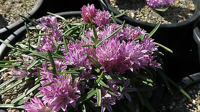 Polyxena corymbosa, 1 PACK OF SEEDS (20  seeds)