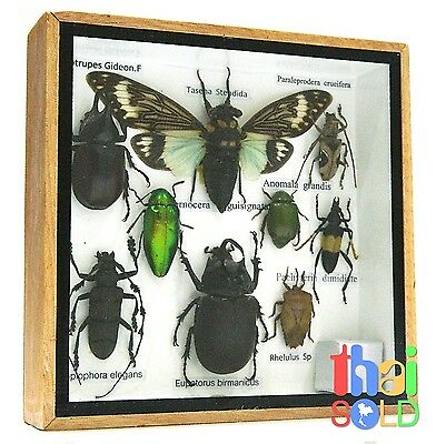 Assorted 9 Real and Rare Insects Taxidermy in Wooden Box 160721
