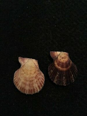2 Mimachlamys cloacata Reeve 25 mm & 26 mm Australia Pretty Gem Scallops
