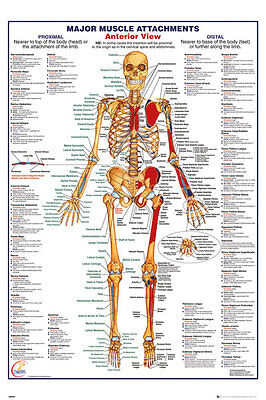 GN0850 HUMAN BODY Major Muscle Attachments Anterior Maxi Poster 61 x 91.5cm