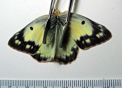 Butterfly- Colias eurytheme white - Canada B040