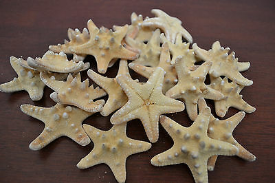 "12 Piece Natural Knobby Starfish Wedding Beach Sea Shell Crafts 2"" - 3"" #7415"