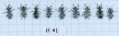 Phyllobius urticae 9 pcs beetles unmounted insects