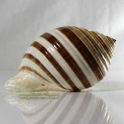 Tonna Banded Large 10-12cm Sea shell for aquarium decoration or crafts