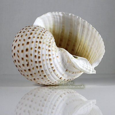Tonna Spotted Extra Large 15-17.5cm Sea shell for aquarium decoration or crafts