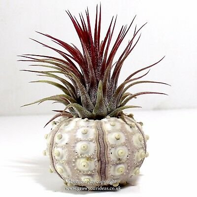 1 x Tillandsia Red ionantha Air Plant displayed in unusual Sea Urchin.