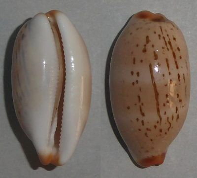 Coquillage de collection : Cypraea isabellamexicana (27 mm)