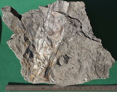 Plante fossile Calamites fossil plant FRANCE