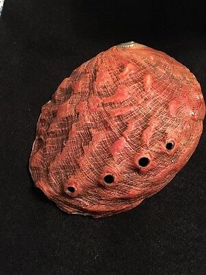 Haliotis rufescens Swainson 180 mm California, USA Abalone Old Collection Red!!