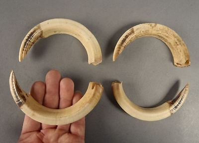 4 Large Papua New Guinea PNG Pig Teeth Tooth Crafts Artwork Pendant NOT lV-0R-Y