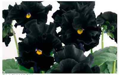 40 Winter Flowering Pansy Frilly Sizzle Black   Bedding Patio Plug plants