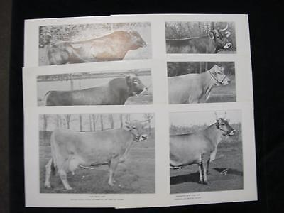 6 Print Portraits: Dairy Cows & Bulls 1936 National Dairy Show & Dairy Congress