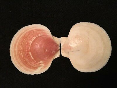 Placopecten magellanicus Gmelin 136 mm Canada Scallop