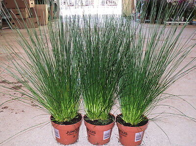 GARDEN PLANTS - 3 x Bare Rooted Juncus 'Pencil Grass' Plants - FREE POSTAGE.