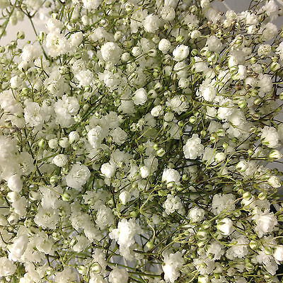 20 Large Fluffy Gyp Babys Breath FRESH CUT Flowers wedding  centerpeice bride