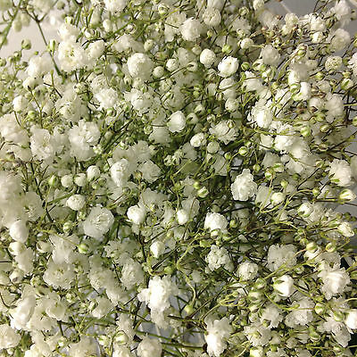 5 Large Fluffy Gyp Babys Breath FRESH CUT Flowers wedding  centerpiece Bride DIY