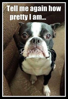 Funny BOSTON TERRIER Tell Me How Pretty I Am Refrigerator / Card Insert Magnet