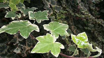 English Ivy Variegated – Hedera helix Variegata – 5 cuttings