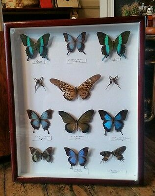 Vintage Wooden Case of 12 Taxidermy Butterflies Lepidoptera Butterfly Collection