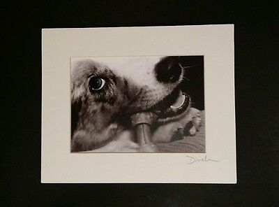 Australian Shepherd Chewing Bone Photograph Photo Blue Eye Aussie Dog Puppy 8x10
